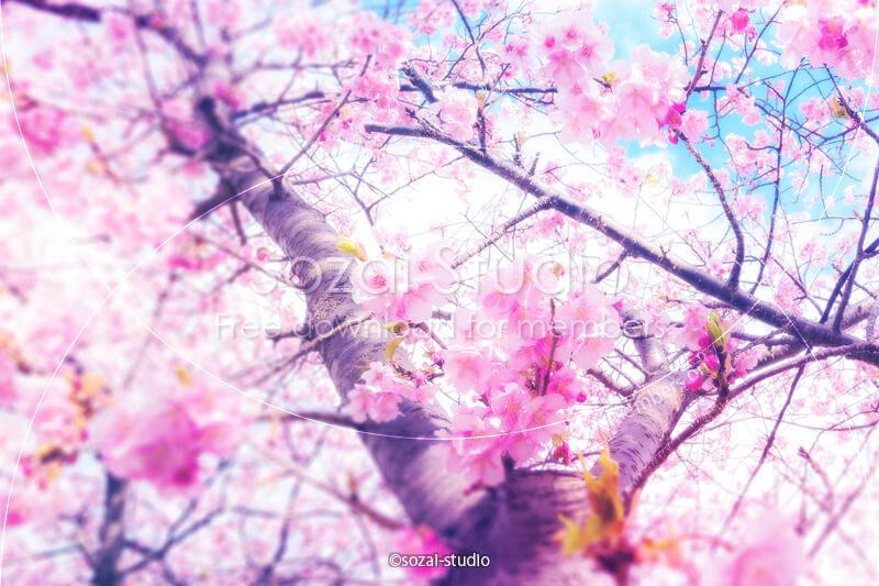 ブログ記事用無料イメージ画像:春のシリーズ桜の花(2)|素材スタジオ