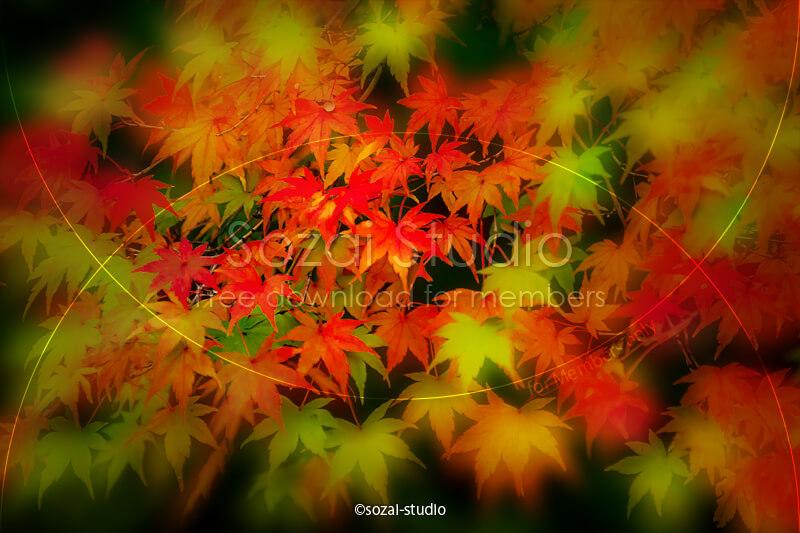 ブログ記事用無料イメージ画像:秋の象徴 紅葉のカエデ4素材