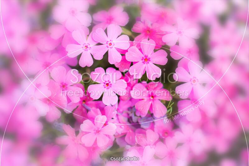 ブログ記事用無料イメージ画像:アイキャッチピンクの芝桜 4素材