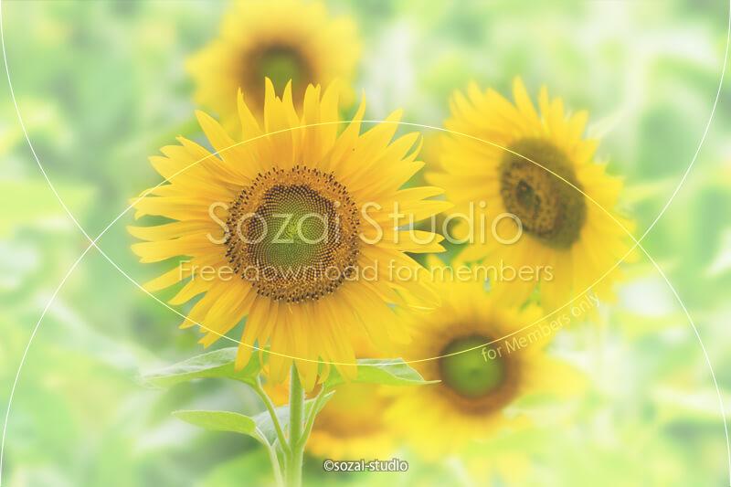 ブログ記事用無料イメージ画像:夏の景色ひまわり 4素材|素材スタジオ