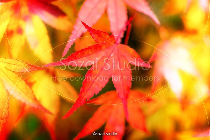 ブログ記事用無料イメージ画像:モミジの葉 紅葉アップ 4素材|素材スタジオ