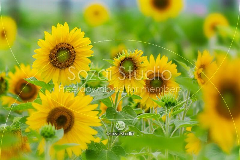 ブログ記事無料アイキャッチ画像:ひまわり畑のひまわり(1)